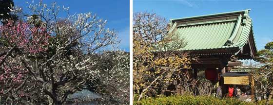 長谷寺の境内 桜の開花